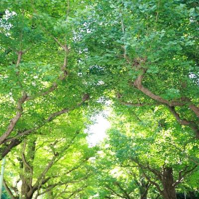 キハチ青山目の前のイチョウ並木